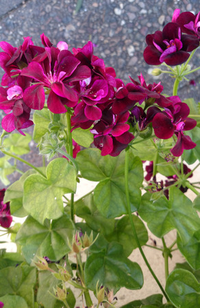 pelargonium: Ivy-leaved pelargonium, Pelargonium peltatum, cascading geranium, semisucculent climbing perennial with ivy-like leaves and mauve to pink flowers