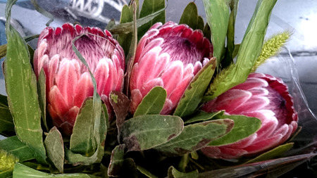 lanceolate: Queen Protea, protea magnifica, shrub with grey green lanceolate to oblong leaves and attractive pink flowers with woolly center