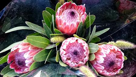 lanceolate: Regina Protea, magnifica protea, arbusto con grigio lanceolate verde per le foglie oblunghe e attraenti fiori rosa con centro lanoso