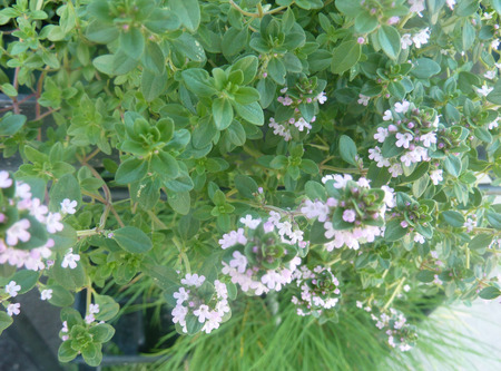 dense mats: Thymus citridorus, Lemon thyme, mat forming lemon scented perennial herb with small opposite leaves and pink to lavender flowers in terminal dense clusters, used as flavoring and in medicine