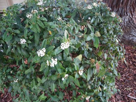 Viburnum tinus, Laurustinus Viburnum, shrub or small tree with ovate to elliptic dark green leaves, white flowers and dark blue black fruits Stock Photo