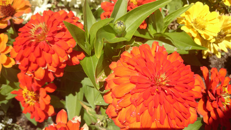 and opposite: Zinnia hybrida, ornamental annual herb, cultivar with green opposite leaves and large terminal orange red heads