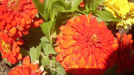 opposite: Zinnia hybrida, ornamental annual herb, cultivar with green opposite leaves and large terminal orange red heads