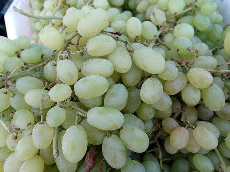 medium size: Thompson Seedless, Sultana, Vitis vinifera, grape cultivar with pale green seedless fruits of medium size used as table fruit and for making raisins or kishmish Stock Photo