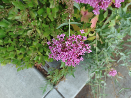 inflorescence: Centranthus ruber, red valerian, Jupiters beard, ornamental herb with green opposite leaves and purplish red flowers in terminal inflorescence