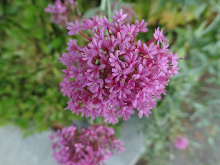 valerian: Centranthus ruber, red valerian, Jupiters beard, ornamental herb with green opposite leaves and purplish red flowers in terminal inflorescence