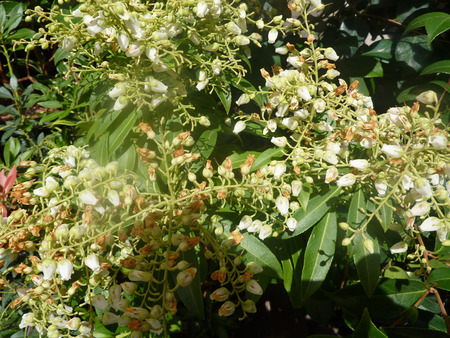 drooping: Pieris japonica Prelude, Prelude Lily Of The Valley, evergreen shrub with green leaves and drooping clusters of white flowers on racemes.