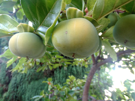 producing: Fuyu persimon, Diospyros kaki, evergreen tree producing orange-yellow depressed globose fruits persistent calyx, nonastringent when young, sweet when ripe Stock Photo