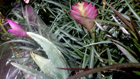 epiphytic: Pink Quill, Tillandsia cyanea, epiphytic plant grown as ornamental with linear recurved leaves and paddle shaped spike of pink bracts through which purple flowers emerge.