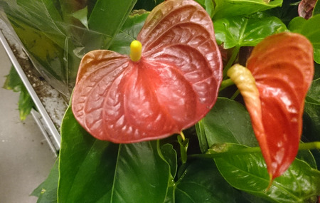 jane: Anthurium andraeanum Lady Jane, perennial herb with large dark red heart shaped spathes and yellow tail like spadix, tropical house plant.