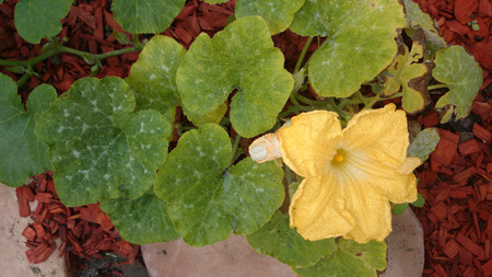 stalk flowers: Cucurbita moschata, cultivated herb with tendrils, yellow unisexual flowers and fruit with expanded stalk tip slightly constricted below the fruit.