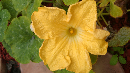 tendrils: Cucurbita moschata, cultivated herb with tendrils, yellow unisexual flowers and fruit with expanded stalk tip slightly constricted below the fruit.