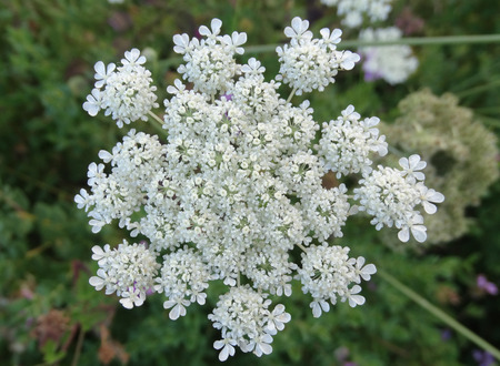 fleshy: Carrot, Daucus carota, plant with fleshy root, finely dissected leaves and white flowers in compound umbels, spiny fruits forming tangled head
