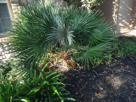 Chamaerops humilis, European Fan Palm, Dwarf Fan Palm, clumping palm with several stems, fan like leaves with 10-20 leaflets, spines, terminal inflorescence and yellow brown fruits