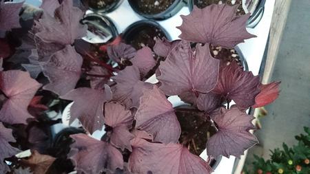 lobes: Sweet Caroline Bewitched Sweet potato, Ipomoea batatas Sweet Caroline Bewitched, ornamental vine with dark purplish black leaves with pointed lobes Stock Photo