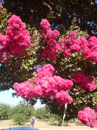 Lagerstroemia indica, Crepe myrtle, deciduous tree with green leaves and pink flowers in condensed panicles, with crimpled petals photo