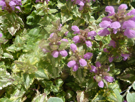 groundcover: Lamium maculatum Golden Anniversary, showy perennial groundcover with heart shaped leaves with golden edges and silver patches in centre, producing rosy purple clusters of flowers.