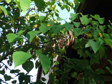 entire: Cercis canadensis, eastern redbud, small deciduous tree with twisted twigs, hear shaped entire green leaves and magenta pink flowers in clusters, flattened brown fruits