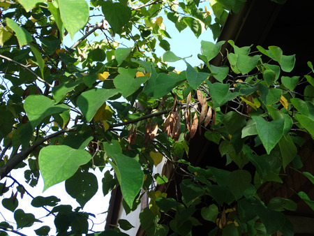 flattened: Cercis canadensis, eastern redbud, small deciduous tree with twisted twigs, hear shaped entire green leaves and magenta pink flowers in clusters, flattened brown fruits