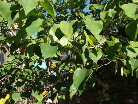 redbud: Cercis canadensis, eastern redbud, small deciduous tree with twisted twigs, hear shaped entire green leaves and magenta pink flowers in clusters, flattened brown fruits