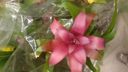 bracts: Guzmania Pink, beautiful house plant with closely packed semitubular leaves and bright pink floral bracts, giving decorative touch to the plant