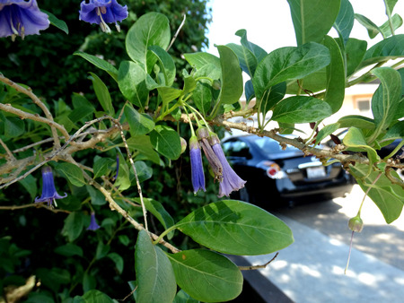 elongated: Iochroma australe, Blue Angels trumpet, Shrub with elongated branches, green leaves and hanging trumpetshaped blue flowers with expanded corolla top.