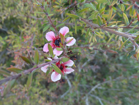 reddish: Leptospermum scoparium Martini, Tea tree Martini, evergreen shrub, compact with dark green leaves and reddish pink solitary flowers