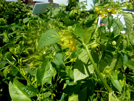enclosed: Physalis ixocarpa, Toma Virde Tomatillo, cultivated herb with green leaves, yellow flowers and greenish yellow berries enclosed in husk, used in salsa and other Mexican dishes