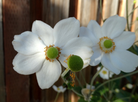 branched: Anemone hybrida Honorine Jobert , cultivar, perennial up to 2 m tall with ternate leaves and white flowers on a long scape, two or three branched, stamens in a neat circle surrounding green column of carpels