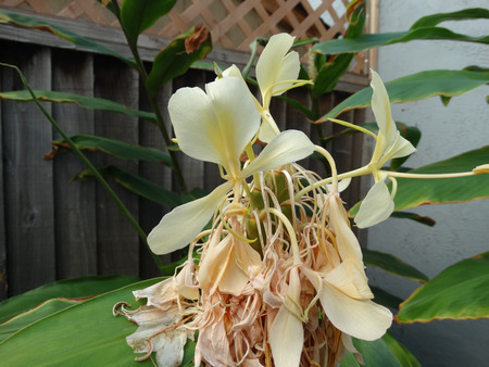 bracts: Cream ginger, Yellow ginger, Hedychium flacescens , Perennial herb up to 2 m tall with green leaves and cream yellow flowers with orange base, emerging from broad bracts Stock Photo