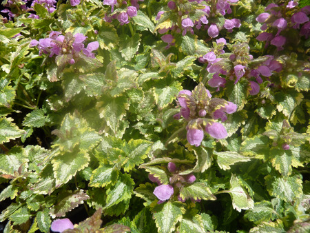 showy: Lamium maculatum Golden Anniversary, showy perennial groundcover with heart shaped leaves with golden edges and silver patches in centre, producing rosy purple clusters of flowers.