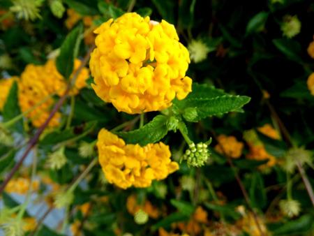 globose: Lantana camara, Gold Mound, low growing evergreen shrub with dark green foliage and nearly globose clusters of golden yellow flowers.