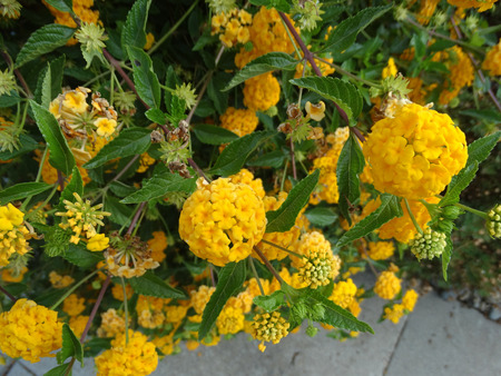 clusters: Lantana camara, Gold Mound, low growing evergreen shrub with dark green foliage and nearly globose clusters of golden yellow flowers.
