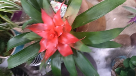 guzmania: Guzmania Pink, beautiful house plant with closely packed semitubular leaves and bright pink floral bracts, giving decorative touch to the plant