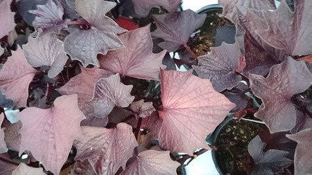 pointed: Sweet Caroline Bewitched Sweet potato, Ipomoea batatas Sweet Caroline Bewitched, ornamental vine with dark purplish black leaves with pointed lobes Stock Photo