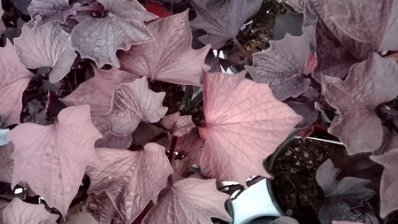 lobes: Sweet Caroline Bewitched Sweet potato, Ipomoea batatas Sweet Caroline Bewitched, ornamental vine with dark purplish black leaves with pointed lobes Stock Photo