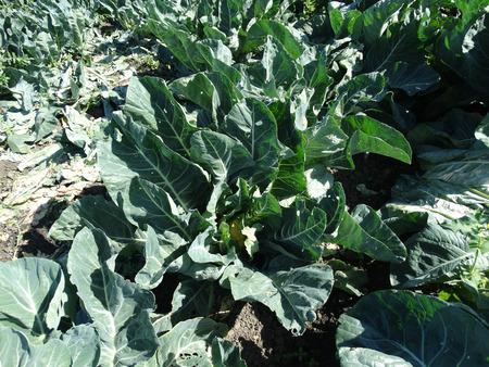 brassica: Cheddar cauliflower, Brassica oleracea botrytis \\ Stock Photo