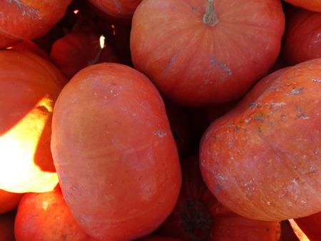 slightly: Cinderella squash, Cucurbita maxima, slightly flattened orange red fruit with week ridges and custard like flesh