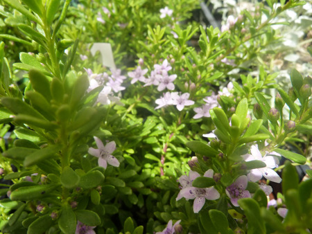 groundcover: Myoporum parvifolium Pink, Pink Groundcover Myoporum, perennial groundcover, with spreading branches, small green leaves and small pink flowers Stock Photo