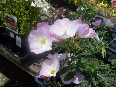 alternate: Oenothera speciosa, Mexican primrose, herbaceous perennial with alternate pubescent leaves and light pink terminal flowers