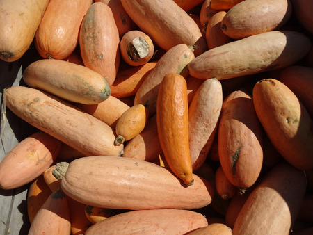 flesh colour: Banana squash, Cucurbita maxima, elongated cylindrical fruit light orange red in color with soft flesh used in pie and other recipes Stock Photo