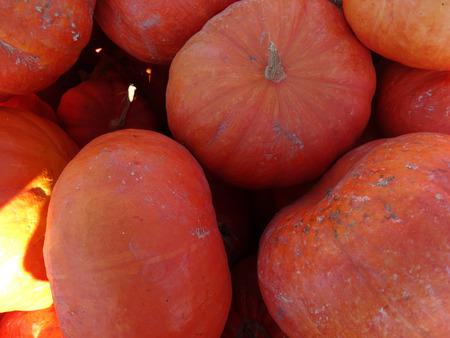 ridges: Cinderella squash, Cucurbita maxima, slightly flattened orange red fruit with week ridges and custard like flesh
