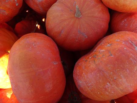 cucurbita: Cinderella squash, Cucurbita maxima, slightly flattened orange red fruit with week ridges and custard like flesh