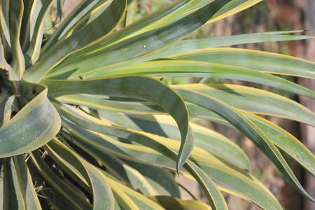 margine: Desmetiana Agave Variegata, variegata agave liscio, pianta con foglie appuntite con denti minuti e banda gialla lungo il margine e punta ricurva, fiori gialli sul lungo scape Archivio Fotografico