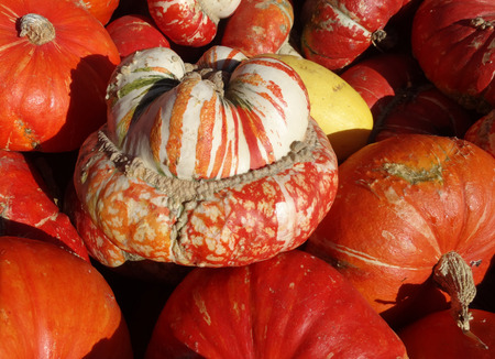 mottling: Turban squash, Cucurbita maxima, Turrks turban, cultivar with turban like cap at flower end, having mottling of orange, white and green, used as ornamental and also as vegetable. Stock Photo
