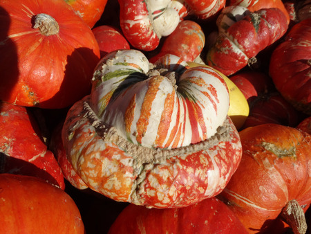 cucurbita: Turban squash, Cucurbita maxima, Turrks turban, cultivar with turban like cap at flower end, having mottling of orange, white and green, used as ornamental and also as vegetable. Stock Photo
