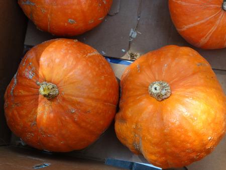 pumkin: Red Kabocha squash, Cucurbita maxima, a squat pumkin with  Orange red skin with white to grey stripes, orange yellow fluffy sweet flesh, used in many dishes