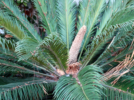 thick: Cycas male cone, small ornamental tree with simple stem, pinnate thick leaves and terminal male cone