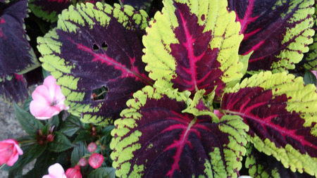 red centre: Coleus Kong Red, Plectranthus scutellaroides \Kong Red\, a cultivar with broad green leaves with broad dark red light red patch in centre