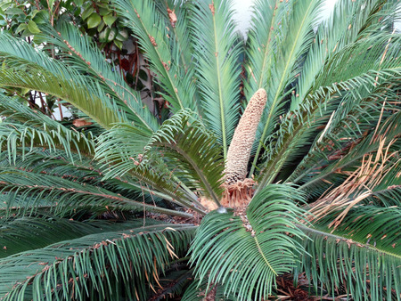 cycas: Cycas male cone, small ornamental tree with simple stem, pinnate thick leaves and terminal male cone
